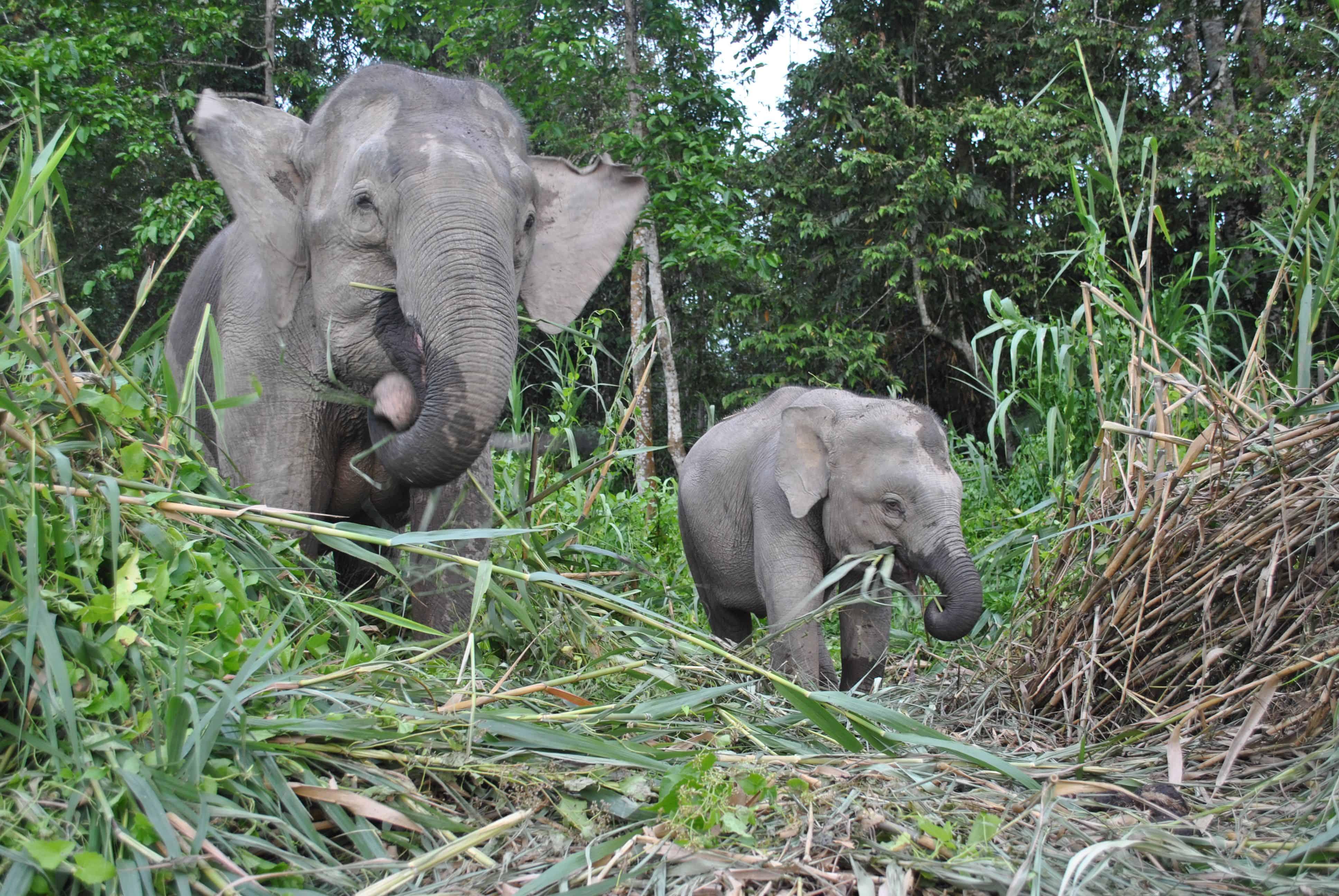 Wild Pygmy Elephants | Live Limitless