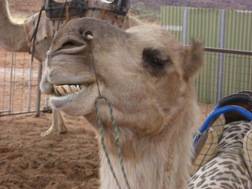 camels of Australia