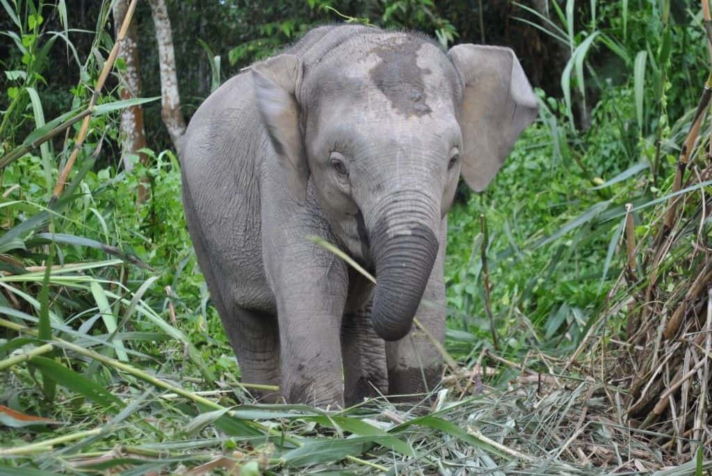 baby asian pygmy elephant
