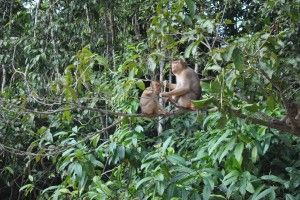 monkeys borneo
