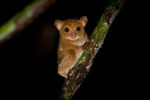 western tarsier borneo