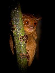 western tarsier sabah