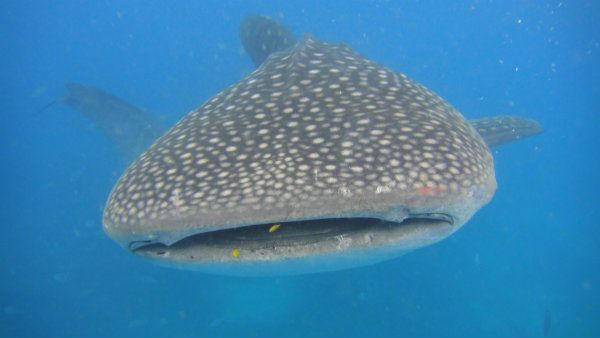 Snorkelling with whale sharks in Philippines
