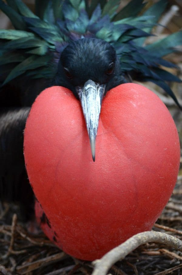 Male Frigate Bird Red Throat Pouch