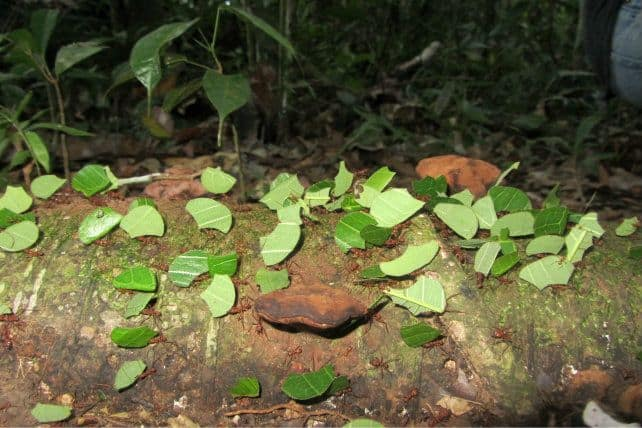 Leaf Cutter Ants Bolivia Amazon
