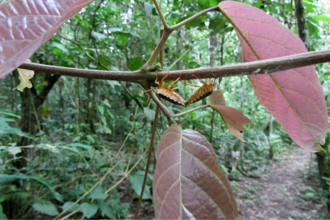Bug Sex in Amazon Rainforest
