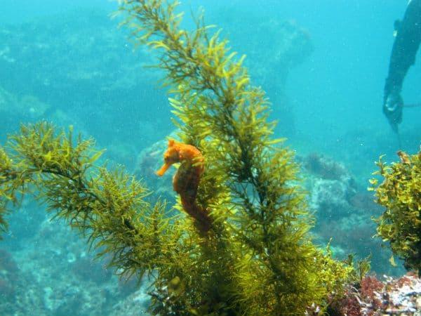 Galapagos Orange Seahorse