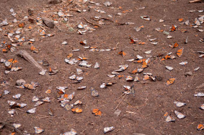 Dead Monarch Butterflies Mexico